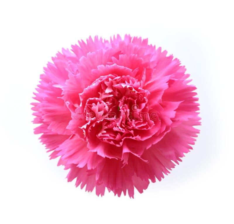 康乃馨粉红色 免版税库存照片