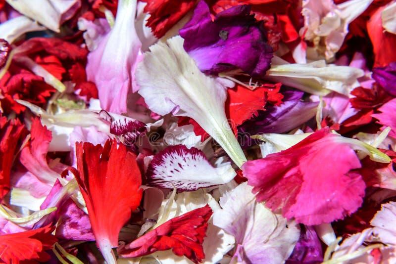 康乃馨细节在地面上花瓣飘落在耶稣队伍的段落以后基督教徒和菲尔根de la 库存图片