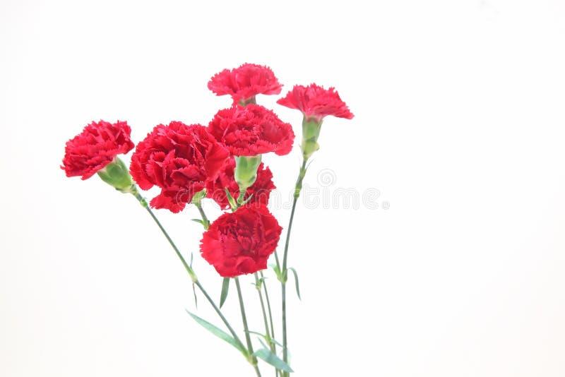 康乃馨花束在白色背景中 库存照片
