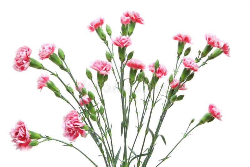 康乃馨花束在白色背景中 免版税库存照片