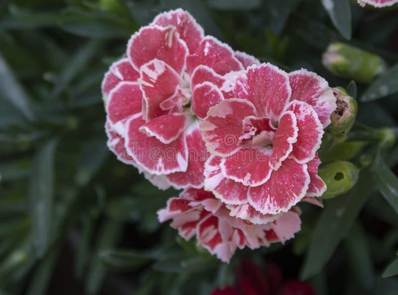 康乃馨花(特写镜头;石竹caryophyllus); r 拍摄从上面 免版税库存图片
