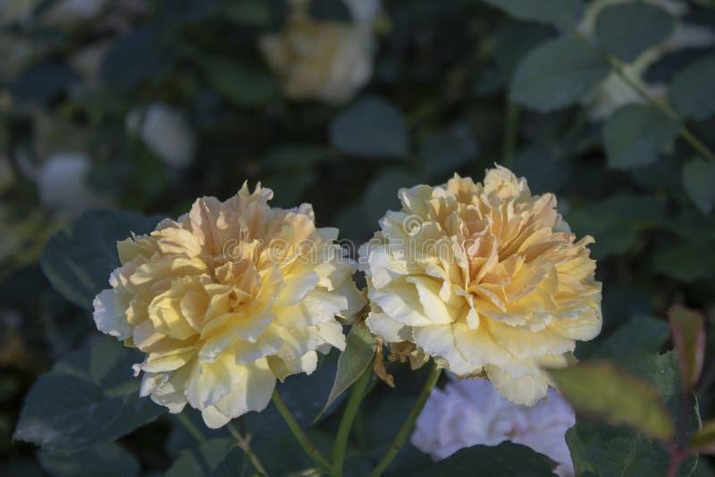 康乃馨(特写镜头;石竹caryophyllus);花 被弄脏的背景和绿色 免版税库存照片