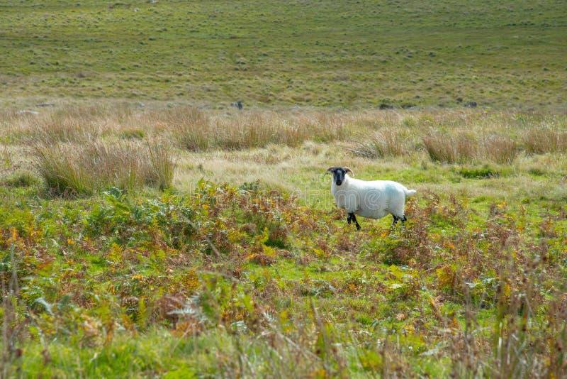 康沃尔绵羊在博德明停泊 免版税库存图片