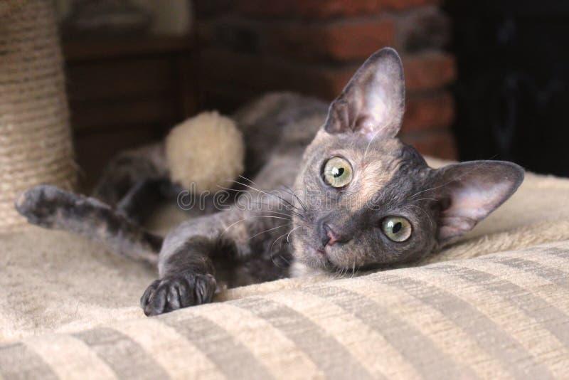 康沃尔雷克斯猫吃惊的大耳朵 库存照片
