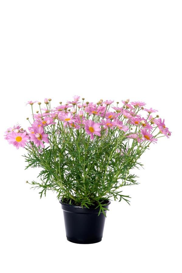 延命菊在粉色的雏菊花 免版税库存图片
