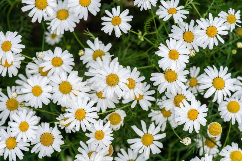 延命菊花卉生长群在领域 库存照片