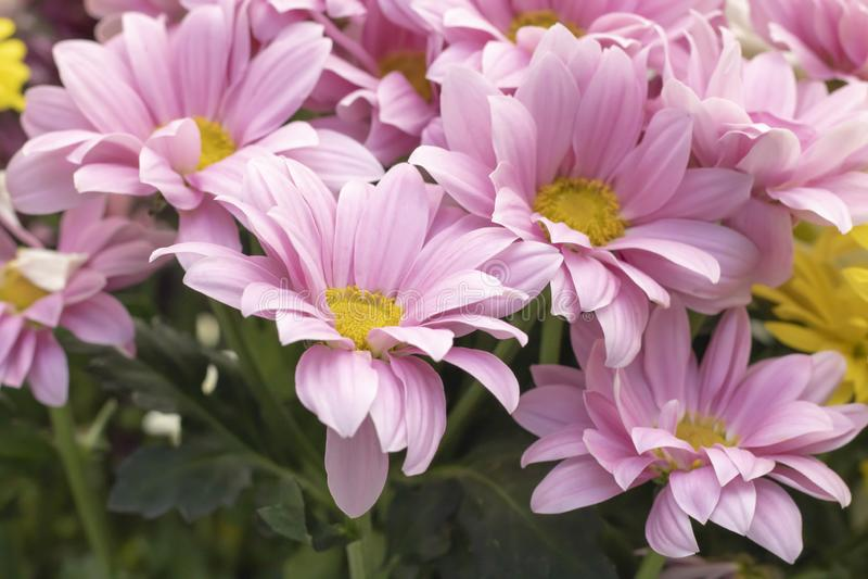 延命菊花品种  库存照片