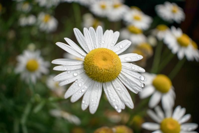 延命菊花的领域 免版税库存照片