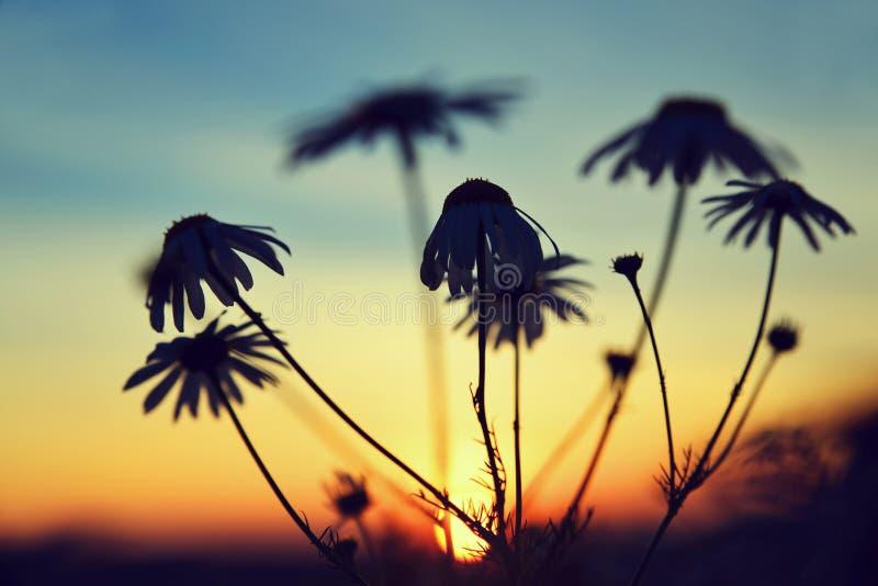 延命菊雏菊剪影在草甸的日落的 免版税库存照片