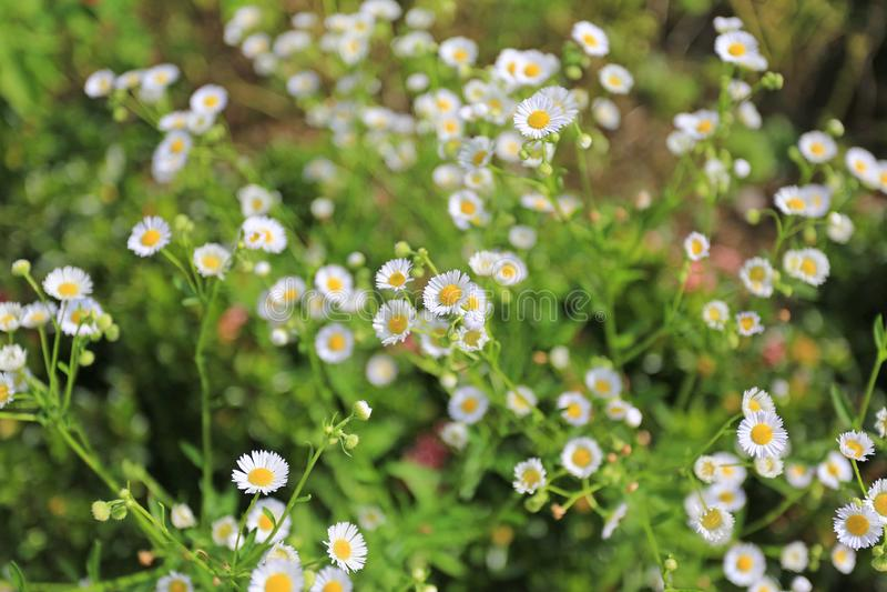 延命菊雏菊花在庭院里 库存图片
