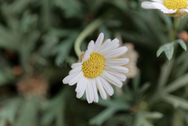 延命菊雏菊Argyranthemum frutescens 图库摄影