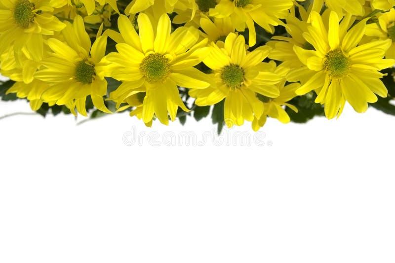 延命菊黄色 库存图片