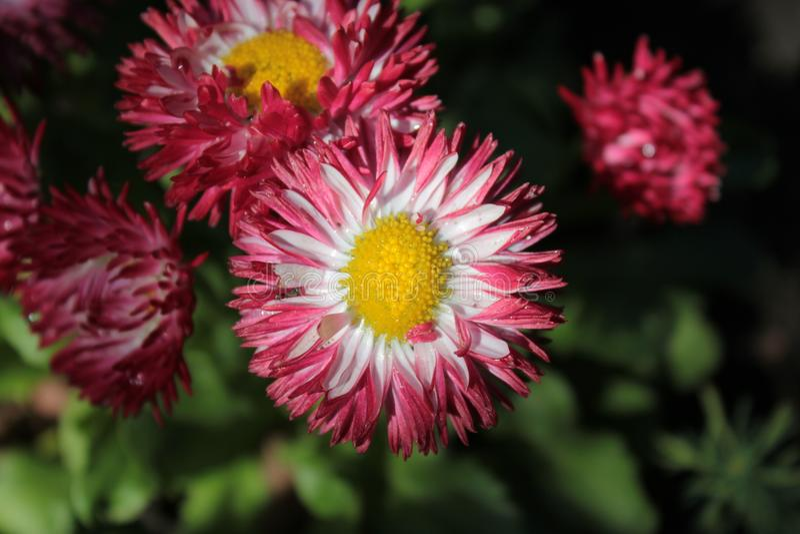 延命菊,白色与莓登上 库存照片