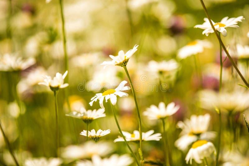 延命菊,花在一个草甸在春天 库存图片