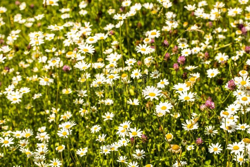 延命菊,花在一个草甸在春天 免版税库存图片