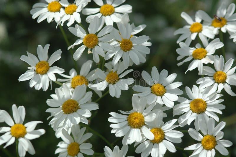 延命菊,菊花,白色和黄色开花在春天 库存照片