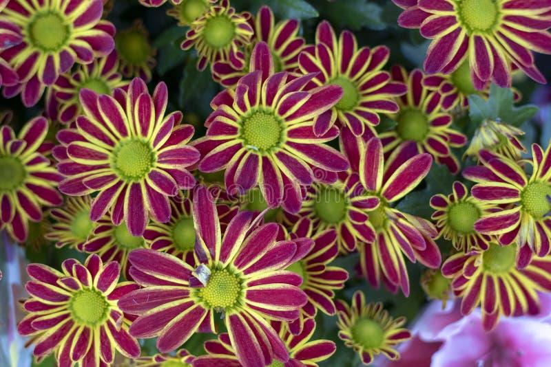 延命菊(特写镜头;Argyranthemum frutescens);花 免版税图库摄影