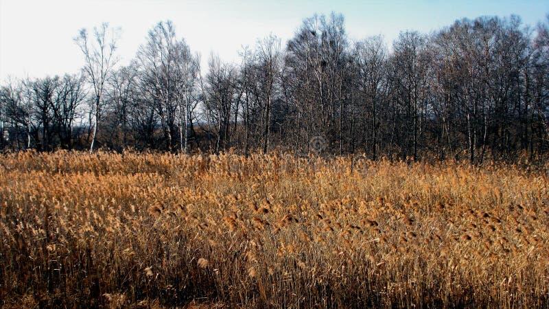 延迟秋天 有干燥黄色草的草甸在一个光秃的黑树丛的背景 免版税库存照片
