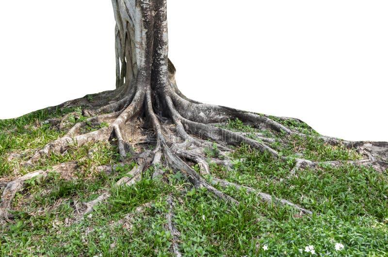 延长美丽的树干和大树根在热带 关心和环保的概念 免版税图库摄影