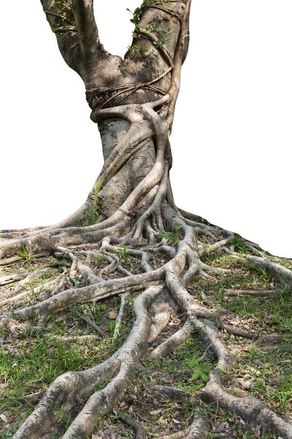 延长美丽的树干和大树根在热带 关心和环保的概念 免版税库存照片