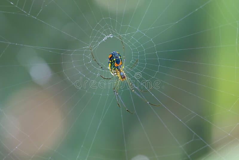 建立网的果树园蜘蛛 库存照片