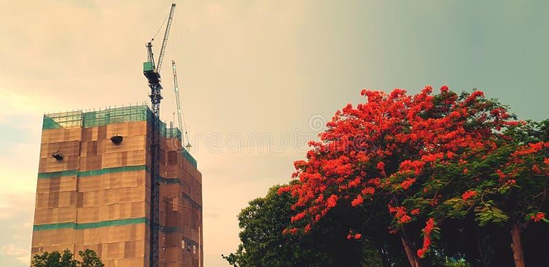 建筑有起重机的建筑工地和大红色或橙色花树有天空背景 库存照片