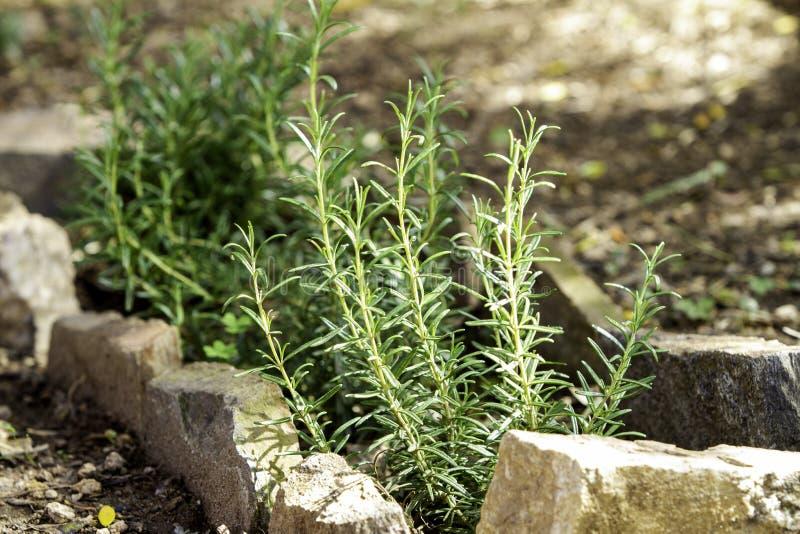 开始在石头毗邻的庭院里增长的罗斯玛丽幼木 库存照片