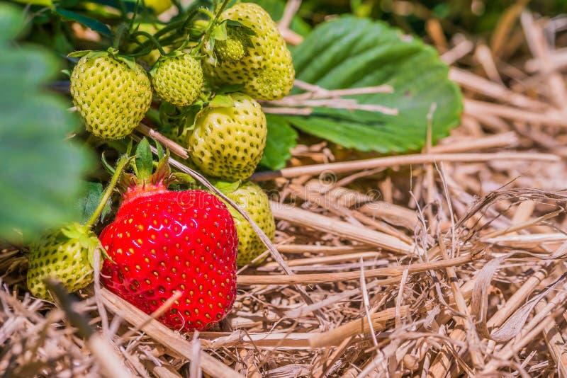 开始对成熟关闭的新鲜的生长草莓  免版税库存照片