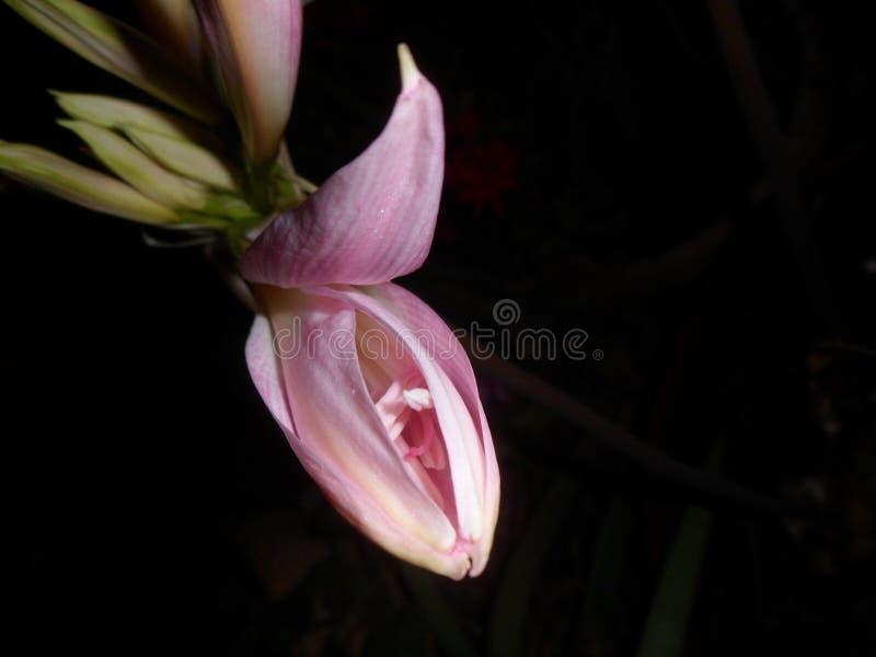 开始打开的一朵桃红色百合花 黑色背景 有文本的室 库存照片