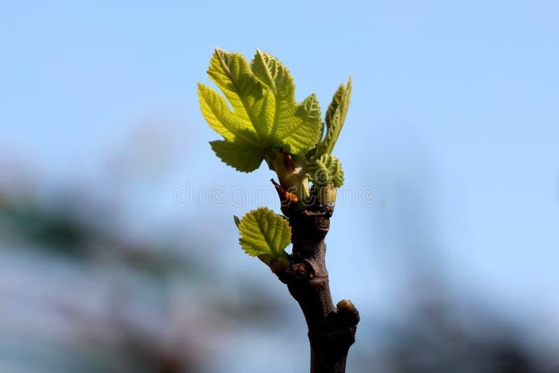 开始无花果树新鲜的浅绿色的叶子增长在唯一分支在地方庭院里 库存图片