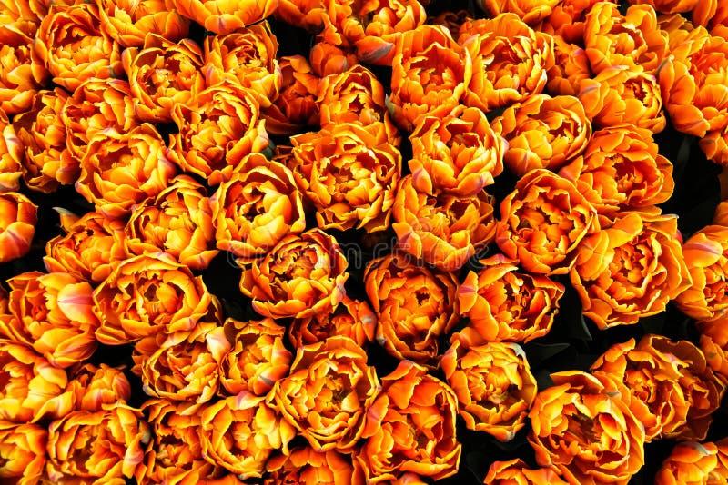 开始橙色,黄色和红色火焰春天的郁金香茂盛在春天在阿姆斯特丹,荷兰 免版税库存照片