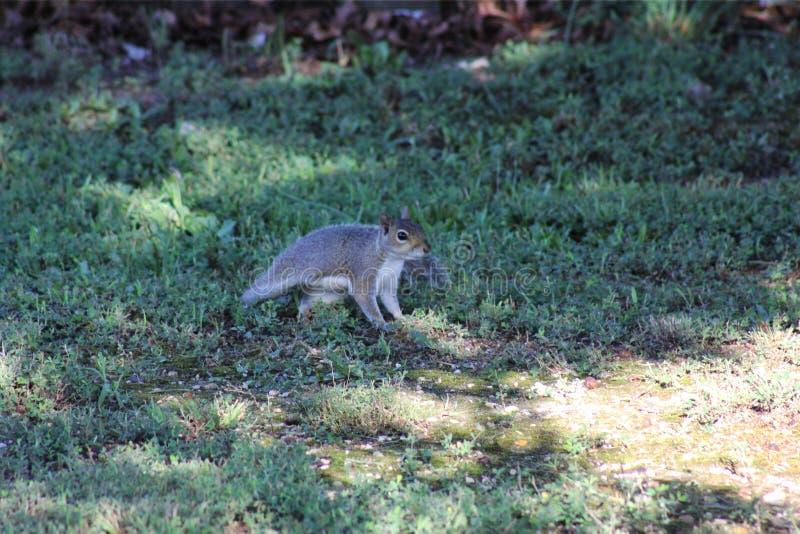 开始灰色的灰鼠跑 免版税库存图片