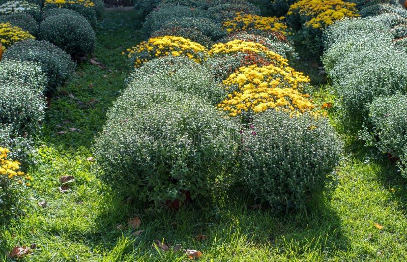 开始秋天的菊花在密执安托儿所开花 免版税库存图片