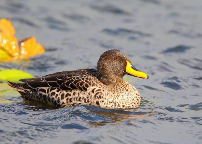 开帐单的鸭子黄色 库存图片