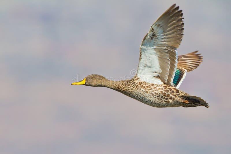 开帐单的鸭子黄色 免版税图库摄影