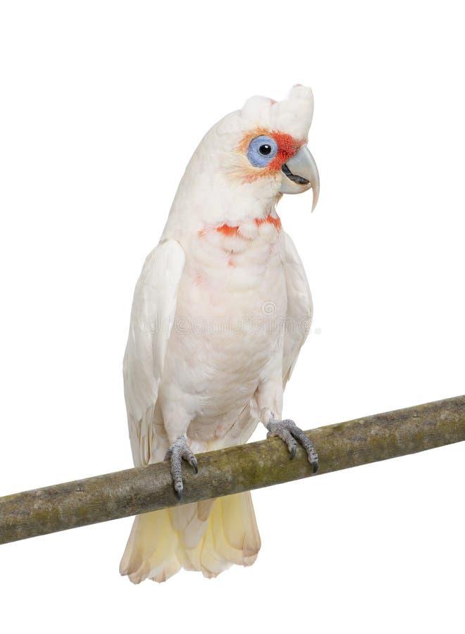 开帐单的cacatua corella长的tenuirostris 库存图片