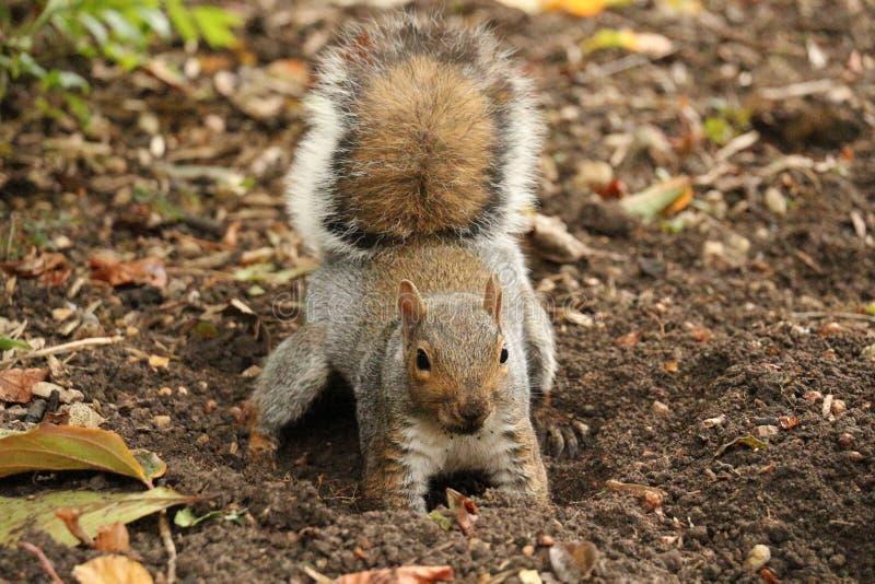 开掘为accorn的灰鼠 免版税库存照片