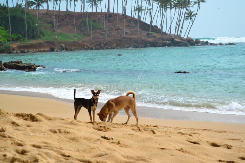 开掘在海洋海滩射击的两条狗一个孔 库存图片