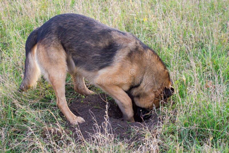 开掘孔的滑稽的狗 免版税库存图片