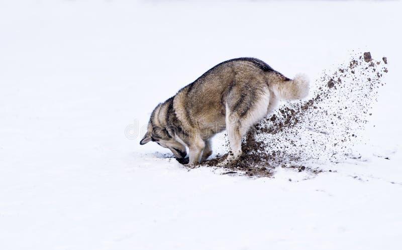 开掘的狗雪 库存图片