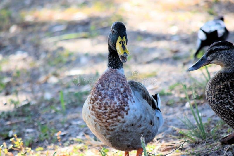 开放男性和女性野鸭鸭子的嘴 图库摄影