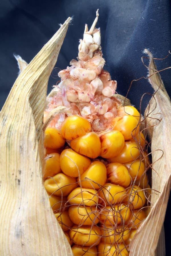 开放背景玉米黑暗的耳朵的玉米 库存图片