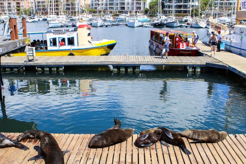 开普敦,南非- 2017年12月23日:小组海角说谎在木跳船的海狗在与人、小船和房子的太阳下 库存照片
