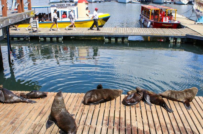 开普敦,南非- 2017年12月23日:小组海角说谎在木跳船的海狗在与人的太阳下游览小船的 免版税图库摄影