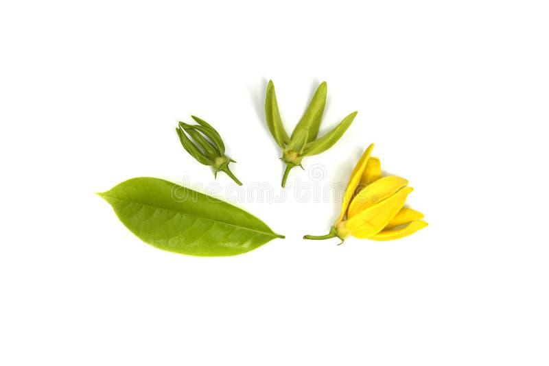 开花上升的香水,攀登在白色背景隔绝的ilang-ilang 库存图片