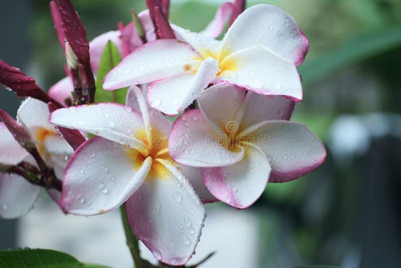 开花与在瓣的水下落,生气勃勃感觉的热带塔花 图库摄影