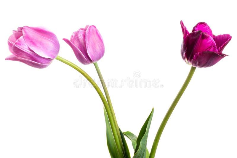 开花与在白色隔绝的郁金香的构成 库存照片