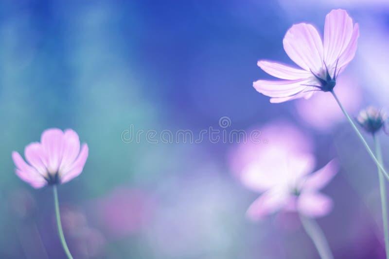 开花与柔和的树荫的波斯菊,软的焦点 免版税库存图片