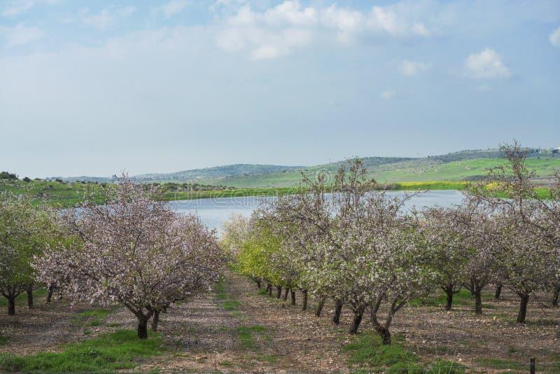 开花与桃红色和白花的扁桃庭院在有报道地面的瓣的果树园出现象雪 库存照片