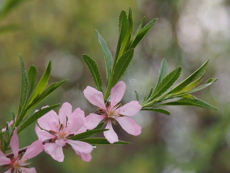 开花与桃红色花的灌木杏仁 免版税图库摄影